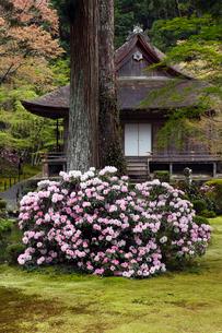 4月 シャクナゲの大原三千院 京都の春景色の写真素材 [FYI01778976]