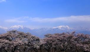 4月,信州大町から見た残雪の北アルプスと満開の桜の写真素材 [FYI01778978]