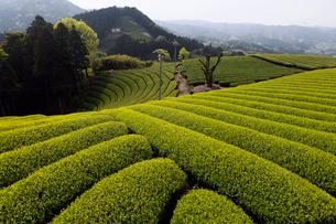 5月春 和束の茶畑 宇治茶の里の写真素材 [FYI01778986]