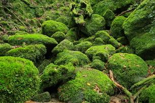 6月初夏,苔むす原生林ー屋久島の白谷雲水峡の写真素材 [FYI01779039]