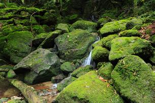 6月初夏,苔むす原生林ー屋久島の白谷雲水峡の写真素材 [FYI01779054]