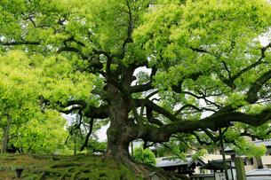 5月,京都青蓮院のクスノキ巨樹の写真素材 [FYI01779061]