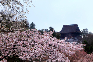 4月桜の吉野山,金峯山(こんぷせん)寺蔵王堂の写真素材 [FYI01779089]