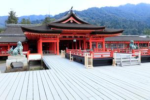 4月春,世界遺産の厳島神社の写真素材 [FYI01779131]