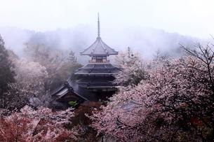 4月春 桜の吉野山中千本と金峯山寺(きんぷせんじ)の写真素材 [FYI01779139]