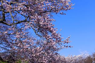 4月,残雪の北アルプスと信州小川村の満開の桜の写真素材 [FYI01779157]