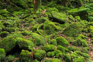 6月初夏,苔むす原生林ー屋久島の白谷雲水峡の写真素材 [FYI01779159]