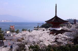 4月春,桜の厳島(宮島)-世界遺産の桜名所-の写真素材 [FYI01779187]