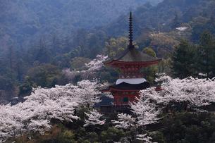 4月春,桜の厳島(宮島)-世界遺産の桜名所-の写真素材 [FYI01779194]
