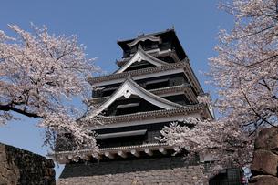 3月春 桜の熊本城の写真素材 [FYI01779199]