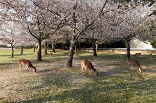 4月 桜と鹿の奈良公園 奈良の春景色の写真素材 [FYI01779226]