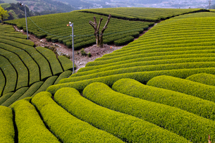 5月春 和束の茶畑 宇治茶の里の写真素材 [FYI01779283]