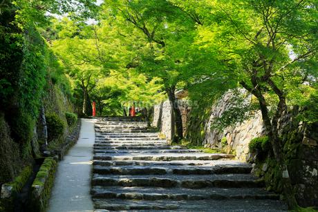 5月新緑,大原三千院の参道の写真素材 [FYI01779284]