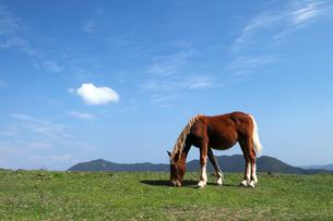 10月秋 国賀海岸の野生馬-隠岐の風物詩の写真素材 [FYI01779307]