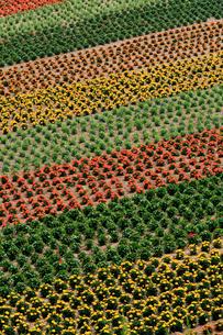 7月 パッチワーク模様 -美瑛の四季彩の丘-の写真素材 [FYI01779310]