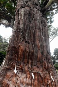 10月 玉若酢命(たまわかすみこと)神社の八百杉(やおすぎ)の写真素材 [FYI01779323]