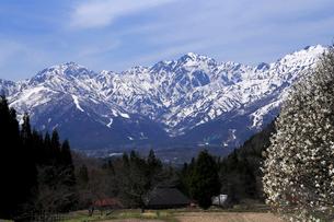 4月春,白馬村青鬼から見た残雪の北アルプスと満開のコブシの写真素材 [FYI01779326]
