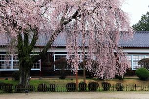 4月小雨,信州飯田の杵原(きねはら)小学校の枝垂れ桜の写真素材 [FYI01779329]
