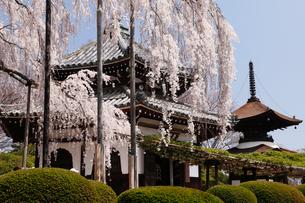 4月 桜の善峯(よしみね)寺 京都の春景色の写真素材 [FYI01779355]