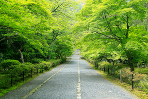 5月,新緑の二尊院-京都嵯峨野の古刹-の写真素材 [FYI01779366]