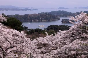 4月春,桜の西行戻しの松公園-松島の桜名所-の写真素材 [FYI01779387]