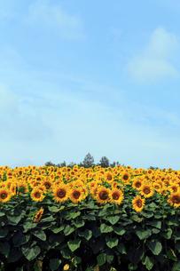7月 四季彩の丘 -北海道の夏-の写真素材 [FYI01779401]