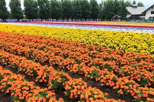 7月 ファーム富田のお花畑 -北海道の夏-の写真素材 [FYI01779408]
