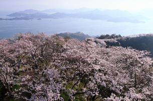 4月春,桜の積善山-しまなみ海道の桜名所-の写真素材 [FYI01779420]