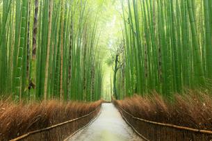 5月,新緑の竹林の道-京都嵯峨野の散策スポットの写真素材 [FYI01779426]