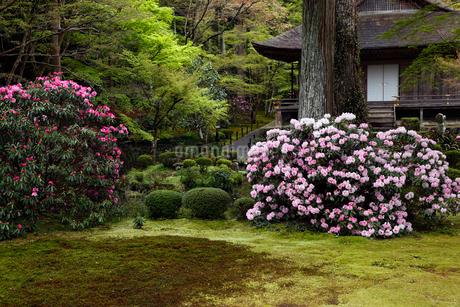 4月 シャクナゲの大原三千院 京都の春景色の写真素材 [FYI01779452]