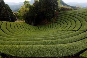 5月春 和束の茶畑 宇治茶の里の写真素材 [FYI01779456]