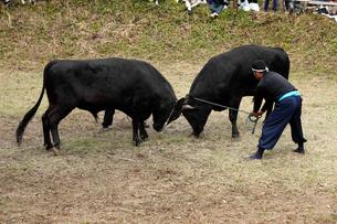 10月 隠岐の牛突き-隠岐の風物詩の写真素材 [FYI01779484]