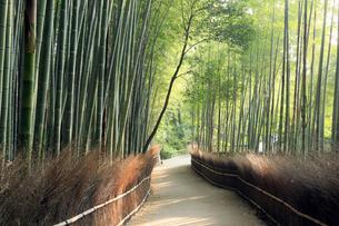 5月,新緑の竹林の道-京都嵯峨野の散策スポットの写真素材 [FYI01779526]