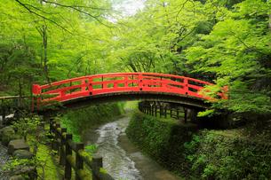 5月,新緑の北野天満宮のもみじ苑の写真素材 [FYI01779544]