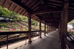 4月 ボタンの長谷寺 奈良の春景色 の写真素材 [FYI01779561]