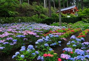 6月 アジサイ咲く三室戸寺 初夏の京都の写真素材 [FYI01779575]