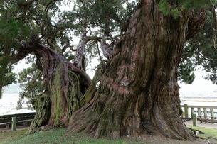 11月 特別天然記念物 宝生院の真柏(シンパク)の写真素材 [FYI01779601]