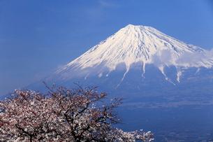 4月春 青空に映える残雪の富士山と雁公園の満開の桜の写真素材 [FYI01779632]