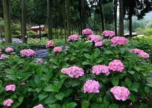6月 アジサイ咲く三室戸寺 初夏の京都の写真素材 [FYI01779635]