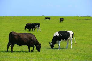 7月夏 北海道 能取(のとろ)岬の牧場風景の写真素材 [FYI01779645]