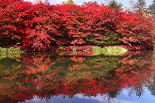 10月 紅葉の雲場池 軽井沢の秋の写真素材 [FYI01779651]