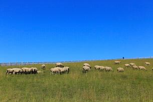 7月,牧場の羊たち-北海道根釧台地の牧場風景の写真素材 [FYI01779652]