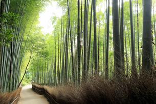5月,新緑の竹林の道-京都嵯峨野の散策スポットの写真素材 [FYI01779663]