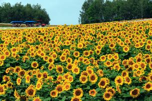 7月 四季彩の丘 -北海道の夏-の写真素材 [FYI01779678]