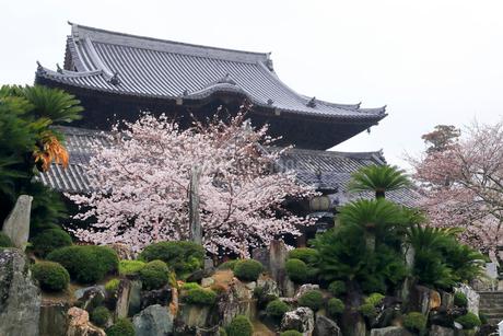 4月 桜の粉河寺 -紀州のサクラ-の写真素材 [FYI01779687]
