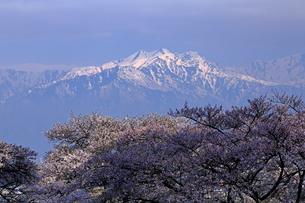 4月春 信州大町から見た残雪の北アルプスと満開の桜の写真素材 [FYI01779696]