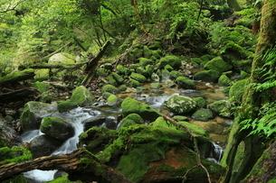 6月初夏,苔むす原生林ー屋久島の白谷雲水峡の写真素材 [FYI01779698]