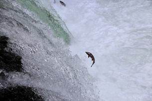 7月 さくらの滝を遡上するサクラマスの写真素材 [FYI01779700]