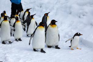 2月 ペンギンパレード -北海道の冬-の写真素材 [FYI01779719]