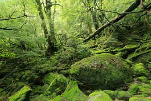 屋久島の苔むす森 白谷雲水峡の原生林,の写真素材 [FYI01779740]